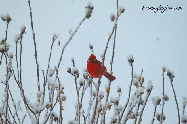 redbirdsnow